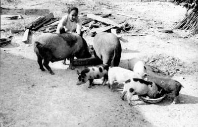 Vietnam. Livestock. Pigs.